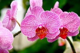 Orchid ©Mei Teng Wong at RGBStock.com